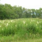 Virginia Bunchflower, Bunch Flower - Veratrum virginicum (Melanthium virginicum) 4