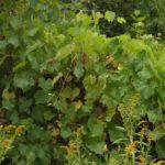 Fox Grape - Vitis labrusca 5