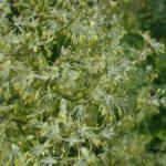 Waxy-leaf Meadow Rue - Thalictrum revolutum