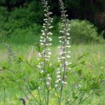 White Wild Indigo - Baptisia alba