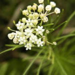 Whorled Milkweed - Asclepias verticillata