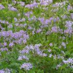 Wild Blue Phlox, Woodland Phlox - Phlox divaricata 4