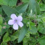 Wild Petunia - Ruellia humilis 2