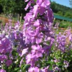 Wild Sweet William, Meadow Phlox - Phlox maculata 2