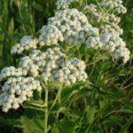 Wild Quinine - Parthenium integrifolium