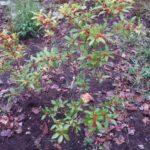 Winterberry - Ilex verticillata 6