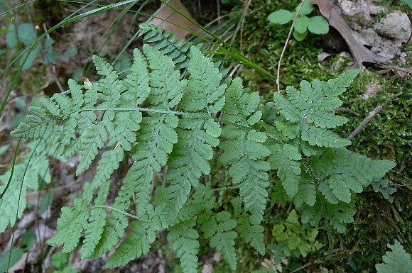 Blunt-lobed Cliff-fern, Blunt-lobed Woodsia - Woodsia obtusa 2