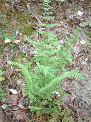 Blunt-lobed Cliff-fern, Blunt-lobed Woodsia - Woodsia obtusa