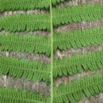 Blunt-lobed Cliff-fern, Blunt-lobed Woodsia - Woodsia obtusa 3
