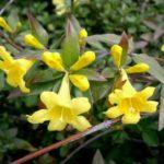 Yellow Jessamine, Carolina Jessamine, Everlasting Trumpetflower, Yellow Jessamine - Gelsemium sempervirens 4